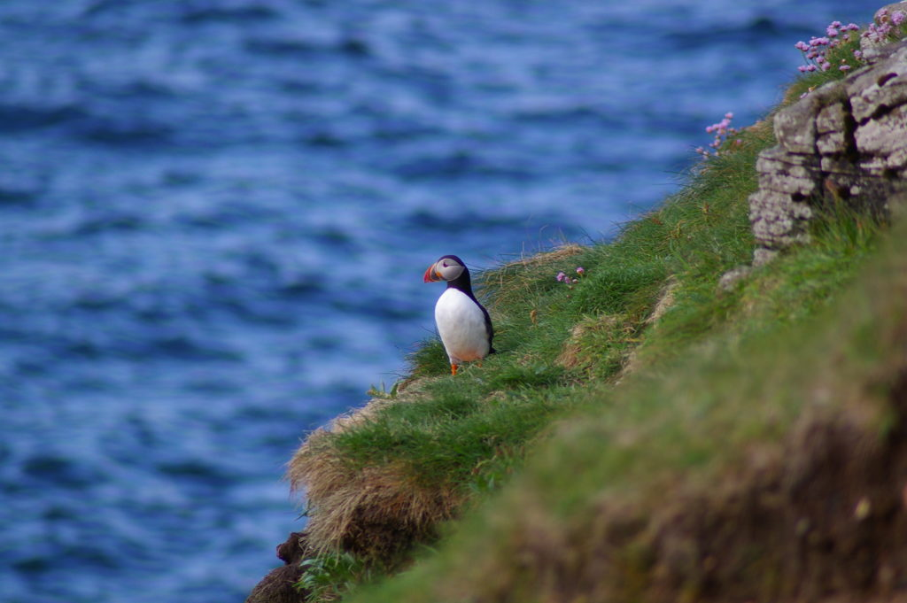 Puffin on the cliff edge