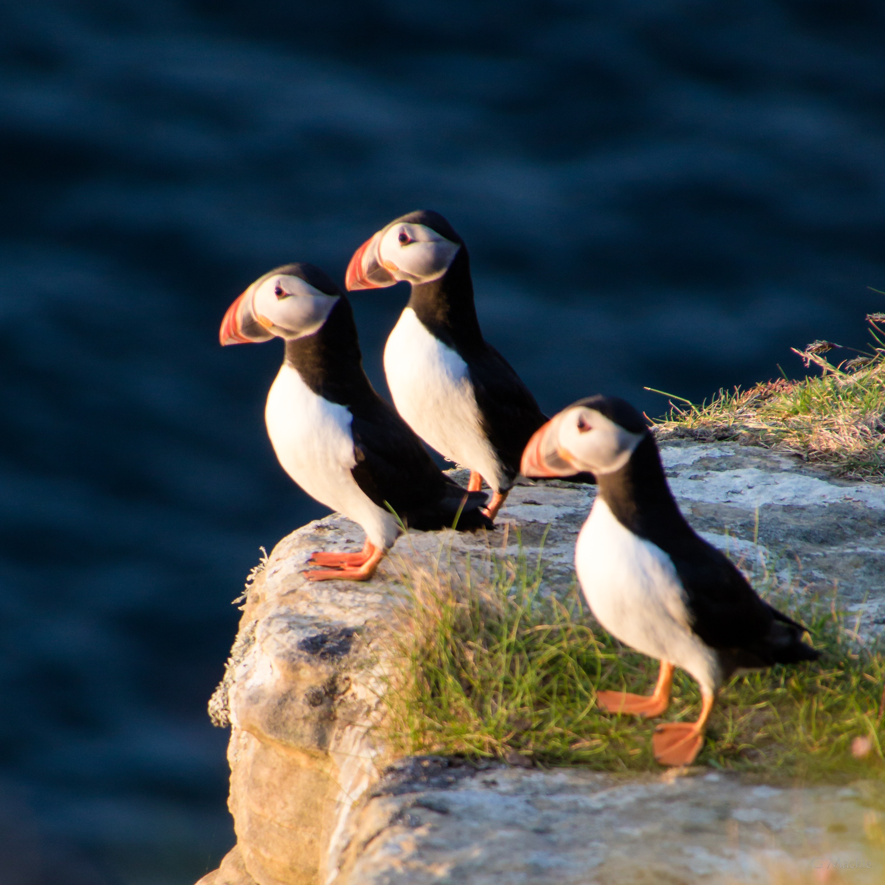 Three puffins on a cliff edge